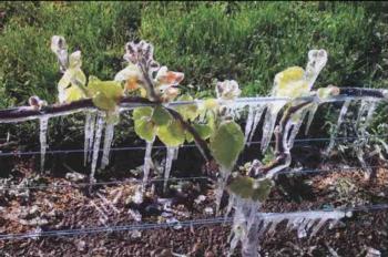 vineyard frost